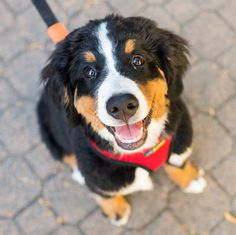 """Moose, Bernese Mountain Dog (4 m/o), Island Park Walk, Vancouver, BC, CAN • """"He loves raspberries. He eats them from the bush in our backyard."""""""