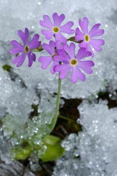 7 Plantas que sobreviven el invierno: Las primaveras