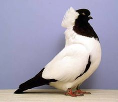 Nun pigeon