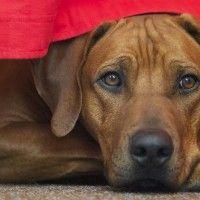 #dogalize Razze cani: il cane Rhodesian Ridgeback carattere e prezzo #dogs #cats #pets