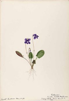 206269 Viola sagittata Aiton / Sharp, Helen, Water-color sketches of American plants, especially New England,  (1888-1910) [Helen Sharp]