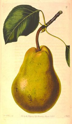"""""""The Beurré Diel Pear""""  Augusta Innes Withers  Hand-colored engraving  from John Lindley  The Pomological Magazine, vol. I (1828)"""
