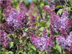 Lilac Care – Growing And Planting Lilac Bush Plants