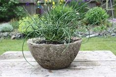 Hypertufa Planter w/ Curly Grass.  I have succulents in my Hypertufa planter that I made that looks like this.
