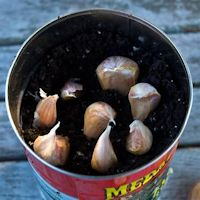 Garlic in a tin, onions in a pot and other cool tips for growing veg in a container.