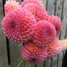 Dahlia 'Jowey Winnie' Swan Cottage Seasonal Wedding Flowers