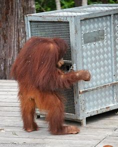 HURRY! : Sindora was so anxious for Scotch to be released that she tried to undo the lock to his transport cage herself! Read more about their release back into the wild at orangutan.org/blog
