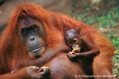 I want to be a Primatologist when I grow up.  Greg adopted an orangutan in Borneo for me.  I named him Gerald after my daddy.