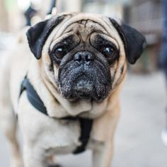 "Otto Pug (8 y/o) 29th & 5th Ave. New York NY ""He's a lousy guard dog. If someone got into my house he wouldn't even wake up."" by: @thedogist"