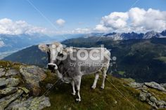 Edit Image #85927551: The cow of the European Alps - iStock