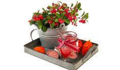 Rond deze tijd van het jaar is bergthee (Gaultheria procumbens) overal verkrijgbaar. Zijn wintergroene blad en vrolijke rode besjes weerspiegelen de traditionele kerstkleuren, mooi voor de decembermaand maar natuurlijk ook daarna. Gaultheria is eigenlijk een min of meer kruipende plant, die het echter prima doet in potten en bakken op het terras. Geef hem wel Lees verder