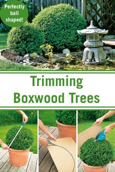 Trimming your boxwood trees can be a bit of a challenge but with our help, you'll soon have perfectly ball shaped trees! Trimming your boxwood trees can be a bit of a challenge but with our help, you'll soon have perfectly ball shaped trees! Boxwood Tree, Boxwood Garden, Topiary Garden, Garden Shrubs, Lawn And Garden, Boxwood Hedge, Boxwood Landscaping, Tropical Landscaping, Front Yard Landscaping