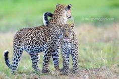 Always nice when an animal's pleased to see you!  Turn on notifications for my feed if you want to ensure you still see my images from tomorrow when Instagram changes its algorithm. Thanks for all your support! #wildlifephotography #leopards #wildlifeplanet #safari #nature #naturephotography #natgeowild #animals