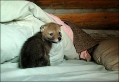 The Daily Coyote: A blog all about the adoption of an orphaned baby coyote