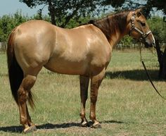 Red Dun Horse Color A couple of red dun horses Dressage Horses, Draft Horses, All The Pretty Horses, Beautiful Horses, Paint Horses For Sale, American Quarter Horse, Quarter Horses, Dun Horse, Horse Markings