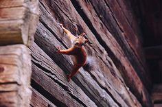 A little squirrel, Seurasaari open-air museum, Finland by Giada Ciotola