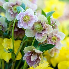 Hellebores (Helleborus) grow about 15 inches tall and start blooming in late winter through early spring. After the petals fade, the sepals stay on the plant, making it look like it's still in bloom; that display can continue through midsummer. Hellebores bloom in shades of pink, red, purple, white, and green; some are double or feature speckled petals. The plants are highly poisonous, but that means they're also deer and rabbit resistant.