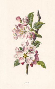 FLOWERS Apple original antique print c1895