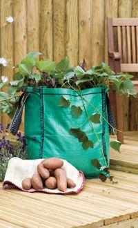 Growing Sweet potato tips