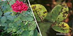 Μια από τις πιο κοινές ασθένειες της τριανταφυλλιάς είναι η Μελανή Κηλίδωση (Diplocarpon rosae). Η ο Gardening Tips, Succulents, Home And Garden, Backyard, Nature, Flowers, Plants, Blog, Ideas