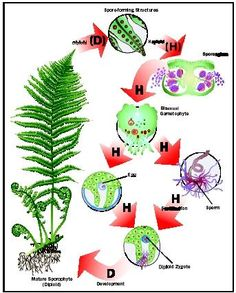 The fern is an example of alternation of generations, in which both a multicellular diploid organism and a multicellular haploid organism occur and give rise to the other.