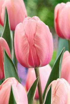 Make a big impression this spring with the soft salmon pink blooms of this delightful giant tulip. The shapely blooms add distinction to any landscape or cut-flower arrangement and the plants will re-flower year on year if taken care of correctly. Pink Tulips, Tulips Flowers, Cut Flowers, Spring Flowers, Pink Roses, Beautiful Flowers, Rare Flowers, Tea Roses, Yellow Roses