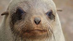 Brown Fur Seal at Cape Cross, Namibia - Wikipedia, the free encyclopedia Baby Sea Lion, Recover Photos, Cute Seals, Lion Images, Bear Cubs, Sea Creatures, Polar Bear, Mammals, Wildlife