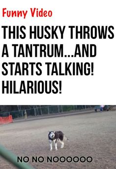 I can't believe what this siberian husky does...just too funny! #dogs #huskies