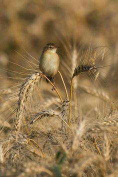 fields of gold Wallpaper Paisajes, Fields Of Gold, Fotografia Macro, Wheat Fields, Felder, Tier Fotos, Little Birds, Country Life, Beautiful Birds