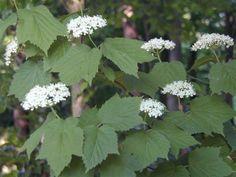 V. acerifolium | Maple-leaf Viburnum ( V. acerifolium )