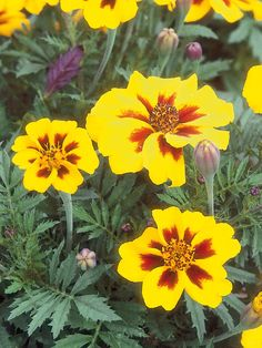 Marigold*  The robust common marigold (Tagetes erecta) is an annual that blooms from summer through fall with flowers in shades of gold, yellow, cream and white. The ferny foliage is highly aromatic, and the plant reaches 3- 4 ft tall & 2 ft wide. Rarely bothered by pests, this vigorous plant is often used in the garden to repel insect invaders. Provide a full-sun location, good drainage & regular water. Avoid overhead watering, as the moisture causes the large flower-heads to droop & break.