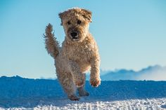 Collection of the Irish Dog Names available here! We have prepared Irish Dog Names - Boy& Girl /Female Name, Badass, Creative, Ideas for Your Dog. Wheaten Terrier, Le Terrier, Irish Terrier, Cairn Terriers, Scottish Terriers, Yorkshire Terriers, Boston Terriers, Beautiful Dog Breeds, Beautiful Dogs