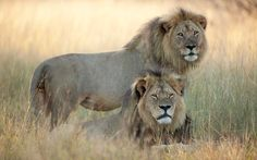 RIP : Last photograph of Cecil with his pack friend Jericho (standing) a month before he was killed