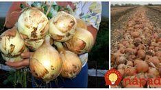 Východná metóda pestovania cibule: 4 kroky, ktoré dostanú vašu úrodu na úplne iný level – väčšia a zdravšia cibuľa! Onion, Vegetables, Garden, Food, Garten, Onions, Lawn And Garden, Essen, Vegetable Recipes