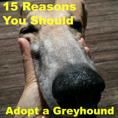 15 Reasons Why You Should Adopt a Retired Racing Greyhound. Like dogs? Be sure to visit and LIKE our Facebook page at https://www.facebook.com/pages/My-Favorite-Breed-is-Rescue/1492607417636488