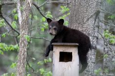 Rich Phalin wanted to photograph black bears and their cubs in northern Minnesota. He found this little guy taking a rest on top of a wood duck house. via National Wildlife Federation