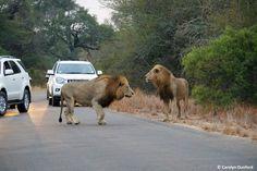 entre carros, leões machos matam um kudu (8)