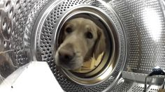 Concerned Golden Retriever Rescues Her Beloved Teddy Bear From the Washing Machine