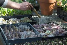 Reproducir crasuláceas es una operación tan sencilla y da tan buenos resultados que a poco que te aficiones tendrás un montón de plantas de este tipo en tu jardín. Son muy agradecidas y de bajo man…