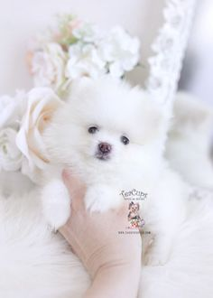 Tiny Teacup Pomeranian puppies available in our store.Your Micro Teacup Pomeranian puppy is conveniently small and cute. Find your tiny Pomeranian ur boutique. White Pomeranian Puppies, Teacup Puppies For Sale, Teacup Pomeranian, Shih Tzu Puppy, Australian Shepherd Puppies, Dog Grooming Business, Toy Puppies, Labrador Retriever Dog, Baby Dogs