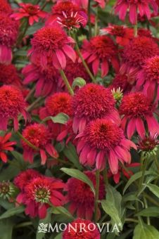 Monrovia's Double Scoop™ Cranberry Coneflower details and information. Learn more about Monrovia plants and best practices for best possible plant performance.