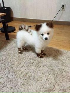 Dogs and Puppies : Dogs - Image : Dogs and Puppies Photo - Description Petit chien blanc à rayures. Sharing is Caring - Hey can you Share this Photo Cute Puppies, Cute Dogs, Dogs And Puppies, Cute Babies, Doggies, Cute Baby Animals, Animals And Pets, Funny Animals, Beautiful Dogs