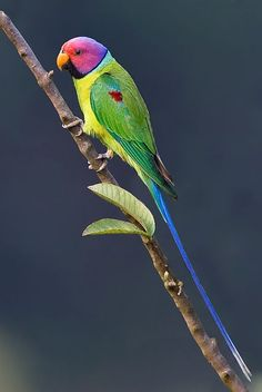 Plum-headed Parakeet, endemic to the Indian Subcontinent (Psittacula cyanocephala) Kinds Of Birds, All Birds, Cute Birds, Pretty Birds, Beautiful Birds, Animals Beautiful, Tropical Birds, Exotic Birds, Colorful Birds