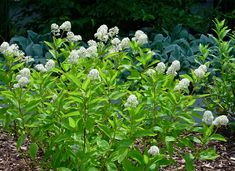 Beechwood Landscape Architecture and Construction: Featured Plant of the Week: New Jersey Tea