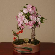 盆栽:桜・長寿梅寄せ植え