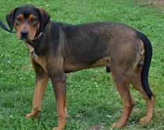 #OHIO #URGENT ~ Spike is an affectionate, handsome hound/rottweiler mix who came into the shelter thru no fault of his own. Thought to be close to 1yo Spike loves playing with other dogs & is said to be good around cats too. He entered the shelter already housetrained & UTD puppy shots. Spike has become a favorite with the shelter volunteers at ATHENS COUNTY DOG SHELTER 13333 State Route 13 Chauncey, OH 45764 740-593-5415