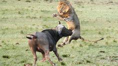 Lion vs Buffalo Bloody Battle   Buffalo vs Lion Fight Buffalo Wings   An...