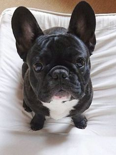 """Hello"", sweet French Bulldog"