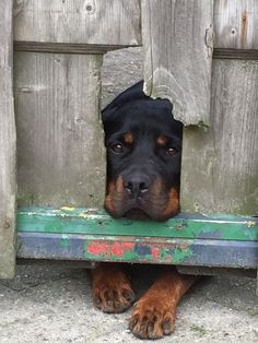 16 Things All Rottweiler Owners Must Never Forget