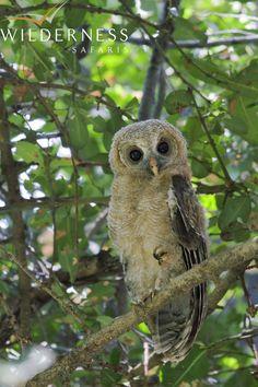 Birding with Wilderness Safaris - Wood owl